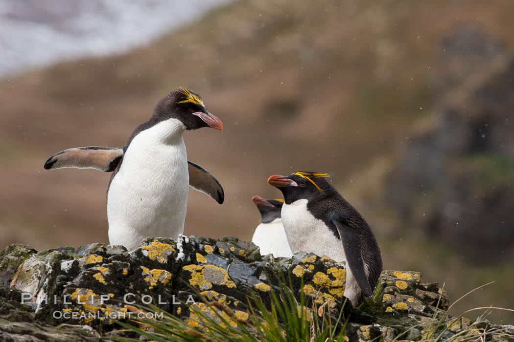 """Macaroni penguins, on the rocky shoreline of Hercules Bay, South Georgia Island.  One of the crested penguin species, the macaroni penguin bears a distinctive yellow crest on its head.  They grow to be about 12 lb and 28"""" high.  Macaroni penguins eat primarily krill and other crustaceans, small fishes and cephalopods. Hercules Bay, South Georgia Island, Eudyptes chrysolophus, natural history stock photograph, photo id 24390"""