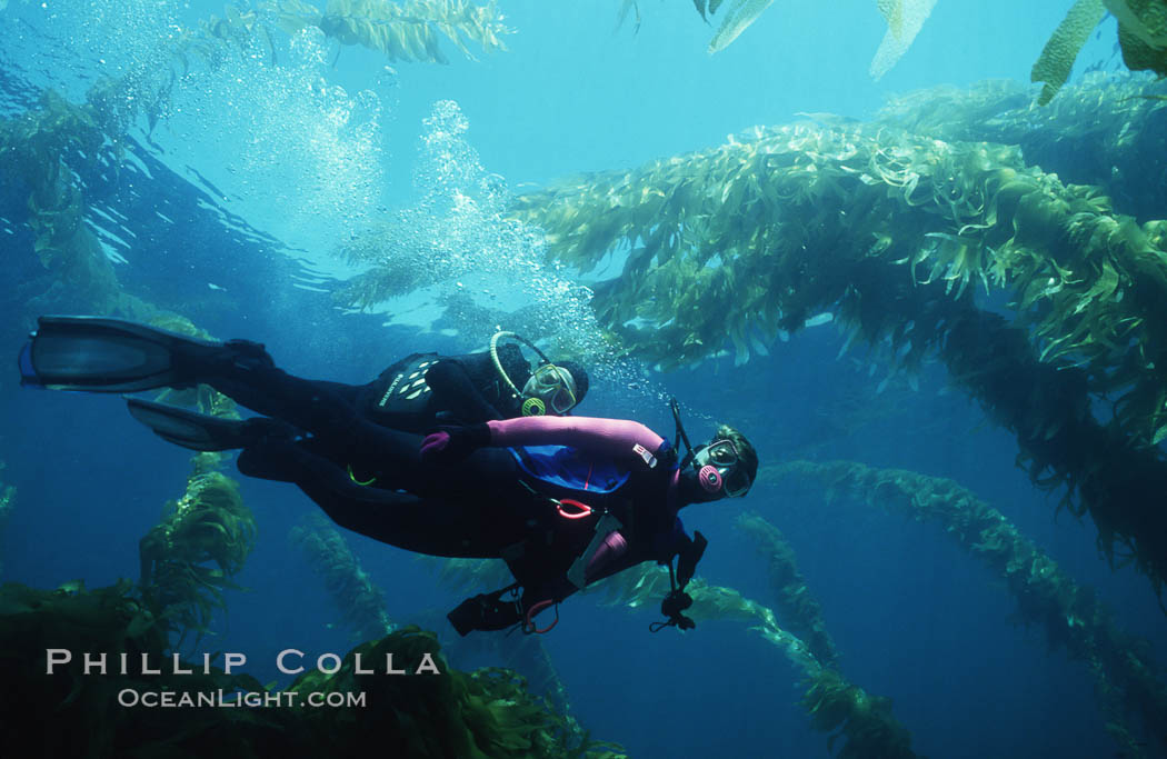 Divers and kelp forest. San Clemente Island, California, USA, Macrocystis pyrifera, natural history stock photograph, photo id 02988