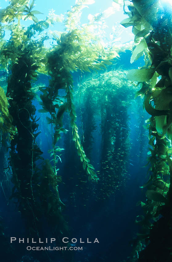 Kelp forest. San Clemente Island, California, USA, Macrocystis pyrifera, natural history stock photograph, photo id 03419