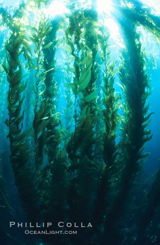 Kelp forest. San Clemente Island, California, USA, Macrocystis pyrifera, natural history stock photograph, photo id 03417