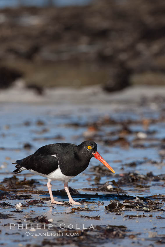 Magellanic oystercatcher, foraging for food on a beach. Carcass Island, Falkland Islands, United Kingdom, Haematopus leucopodus, natural history stock photograph, photo id 24031