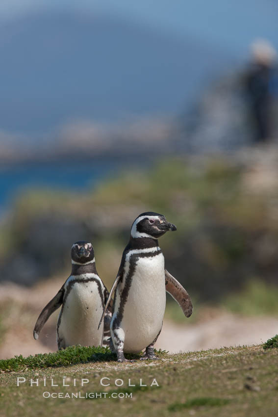 Magellanic penguins, coming ashore after foraging at sea. Carcass Island, Falkland Islands, United Kingdom, Spheniscus magellanicus, natural history stock photograph, photo id 24054