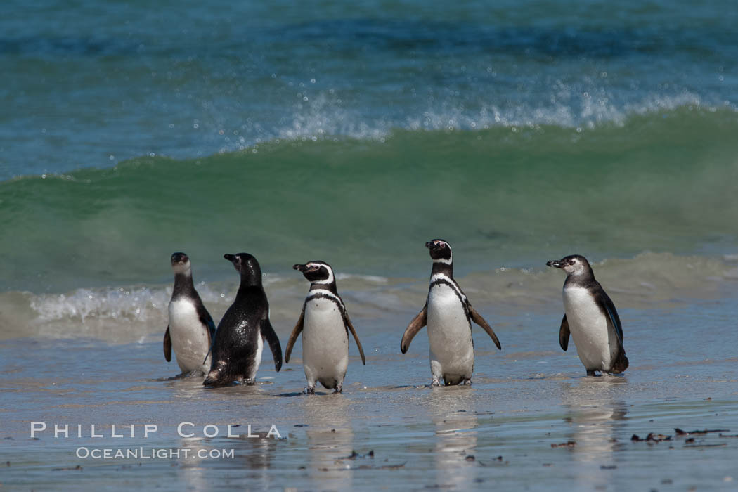 Magellanic penguins, coming ashore after foraging at sea. Carcass Island, Falkland Islands, United Kingdom, Spheniscus magellanicus, natural history stock photograph, photo id 24058