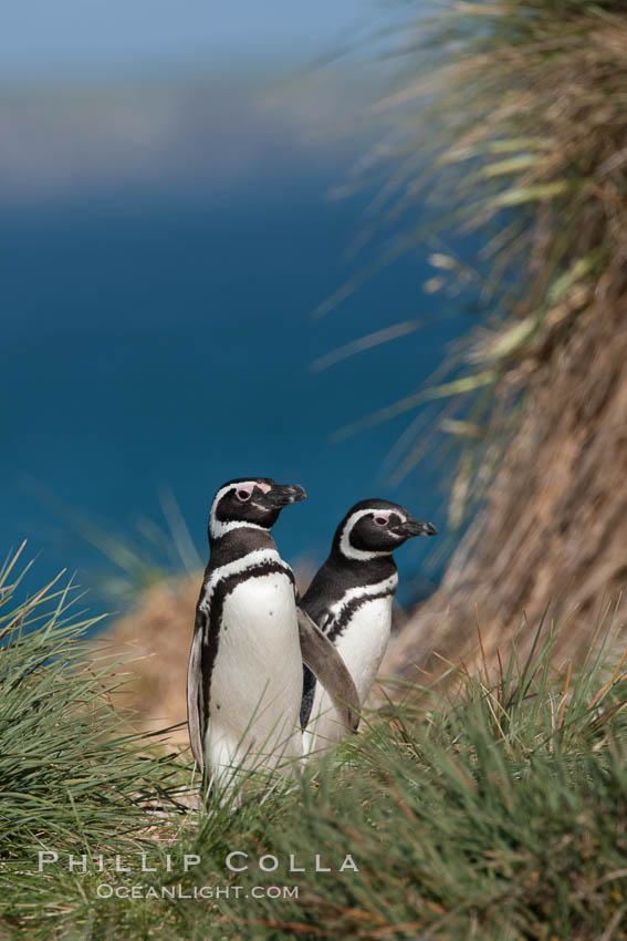 Magellanic penguins walk through tussock grass, on their way to their burrows after foraging at sea all day. Carcass Island, Falkland Islands, United Kingdom, Spheniscus magellanicus, natural history stock photograph, photo id 24000