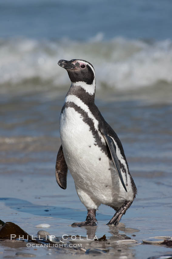 Magellanic penguins, coming ashore after foraging at sea. Carcass Island, Falkland Islands, United Kingdom, Spheniscus magellanicus, natural history stock photograph, photo id 24033