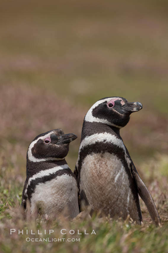 "Magellanic penguins, in grasslands at the opening of their underground burrow.  Magellanic penguins can grow to 30"" tall, 14 lbs and live over 25 years.  They feed in the water, preying on cuttlefish, sardines, squid, krill, and other crustaceans. New Island, Falkland Islands, United Kingdom, Spheniscus magellanicus, natural history stock photograph, photo id 23780"