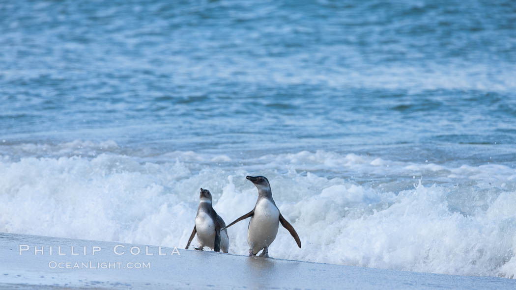 """Magellanic penguins, coming ashore on a sandy beach.  Magellanic penguins can grow to 30"""" tall, 14 lbs and live over 25 years.  They feed in the water, preying on cuttlefish, sardines, squid, krill, and other crustaceans. New Island, Falkland Islands, United Kingdom, Spheniscus magellanicus, natural history stock photograph, photo id 23923"""