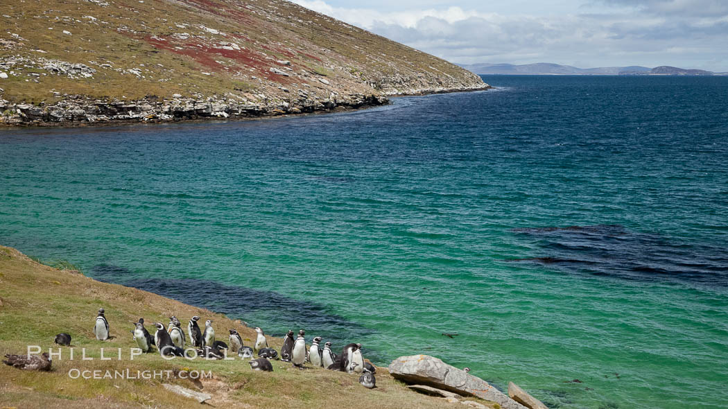Magellanic penguins, grouped along the edge of grasslands above the ocean. New Island, Falkland Islands, United Kingdom, natural history stock photograph, photo id 23813