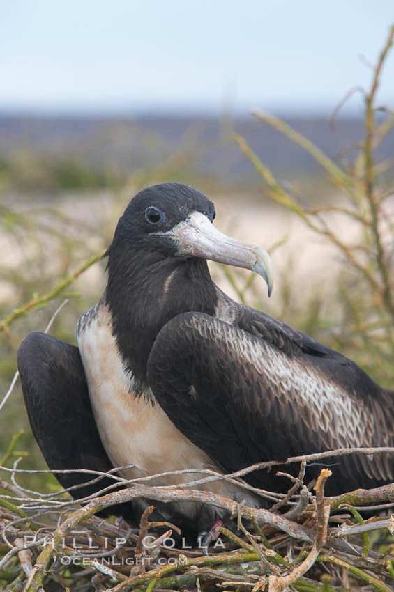 Magnificent frigatebird, adult female on nest. North Seymour Island, Galapagos Islands, Ecuador, Fregata magnificens, natural history stock photograph, photo id 16746