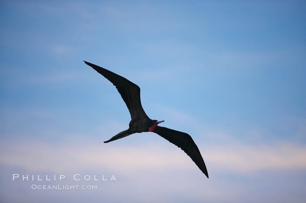 Magnificent frigatebird, adult male in flight, sunset. Darwin Island, Galapagos Islands, Ecuador, Fregata magnificens, natural history stock photograph, photo id 16758