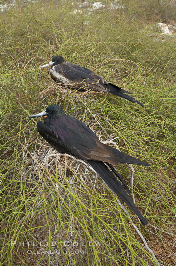 Magnificent frigatebird, adult male (foreground) and adult female (background), purple iridescense on scapular feathers of male identifies species. North Seymour Island, Galapagos Islands, Ecuador, Fregata magnificens, natural history stock photograph, photo id 16744
