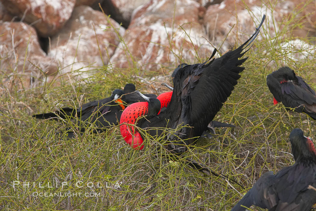 Magnificent frigatebird, bachelor adult males with raised wings and throat pouch inflated in a courtship display to attract females. North Seymour Island, Galapagos Islands, Ecuador, Fregata magnificens, natural history stock photograph, photo id 16748