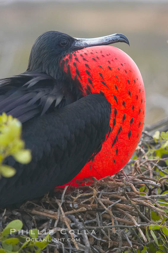 Magnificent frigatebird, adult male on nest, with throat pouch inflated, a courtship display to attract females. North Seymour Island, Galapagos Islands, Ecuador, Fregata magnificens, natural history stock photograph, photo id 16756
