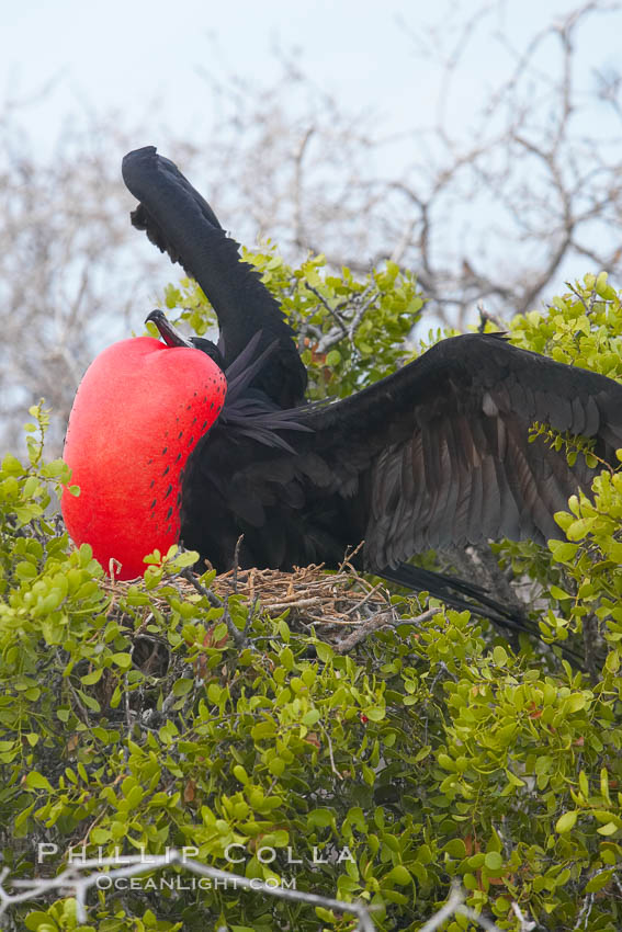 Magnificent frigatebird, adult male on nest, with raised wings and throat pouch inflated in a courtship display to attract females. North Seymour Island, Galapagos Islands, Ecuador, Fregata magnificens, natural history stock photograph, photo id 16739