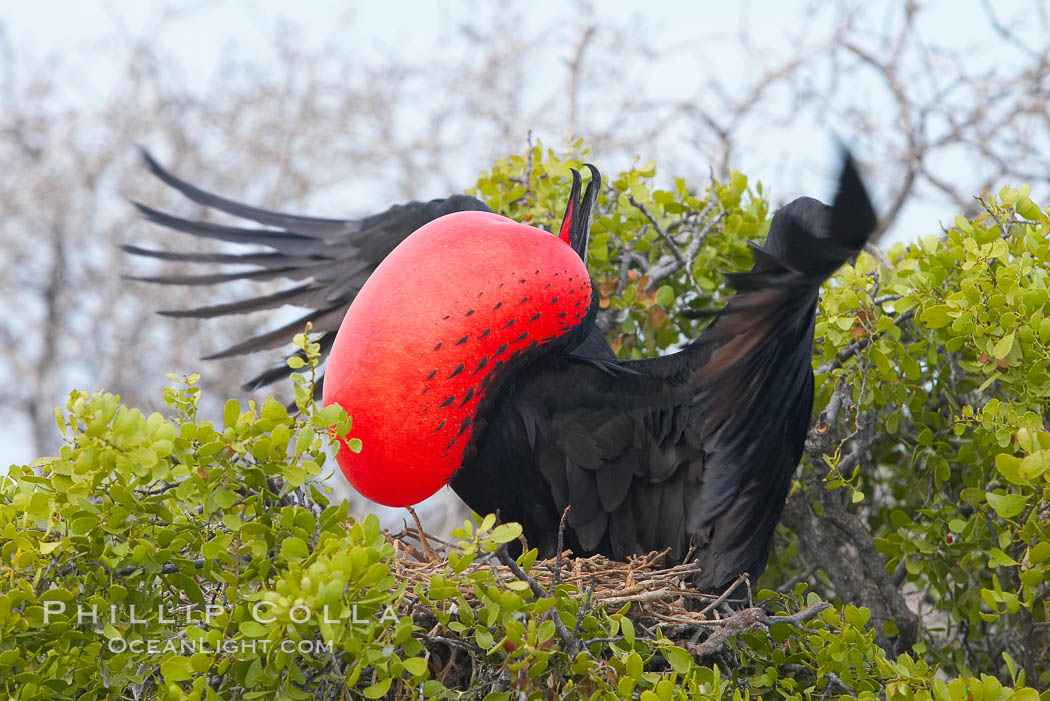 Magnificent frigatebird, adult male on nest, with raised wings and throat pouch inflated in a courtship display to attract females. North Seymour Island, Galapagos Islands, Ecuador, Fregata magnificens, natural history stock photograph, photo id 16728