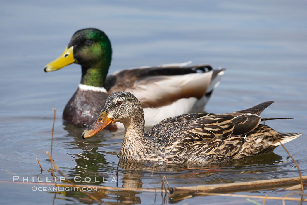 Mallard, female (foreground) and male. Santee Lakes, Santee, California, USA, Anas platyrhynchos, natural history stock photograph, photo id 15716