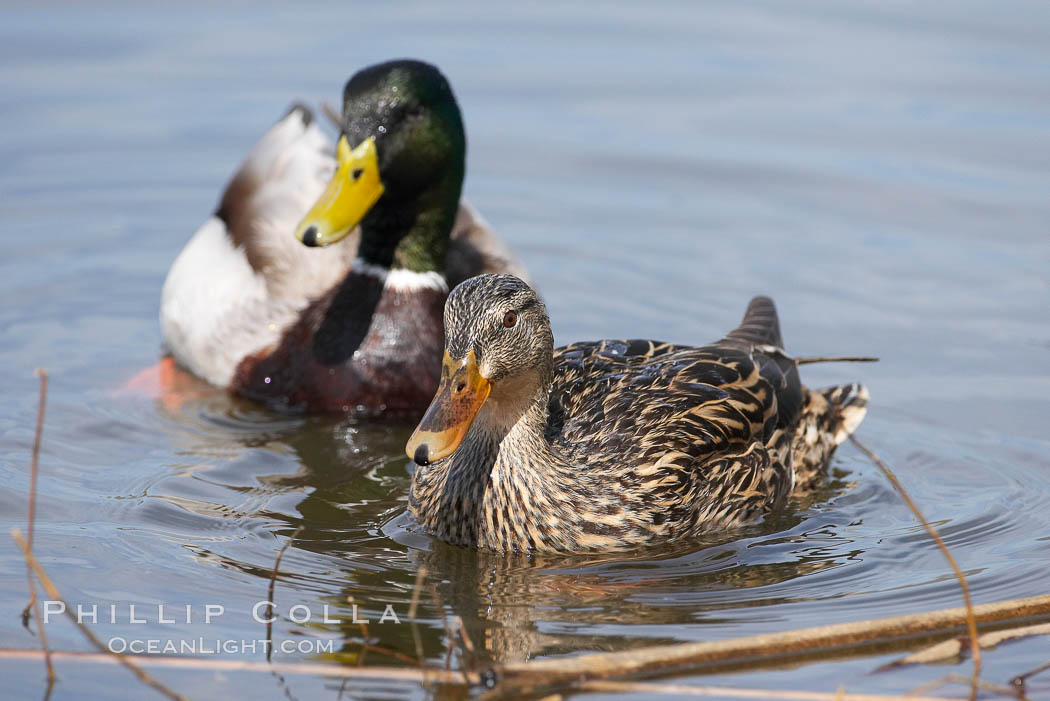 Mallard, female (foreground) and male. Santee Lakes, California, USA, Anas platyrhynchos, natural history stock photograph, photo id 15718