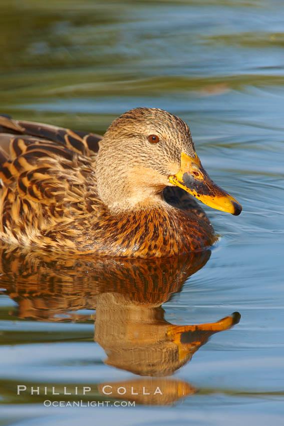 Mallard, female. Santee Lakes, Santee, California, USA, Anas platyrhynchos, natural history stock photograph, photo id 23410