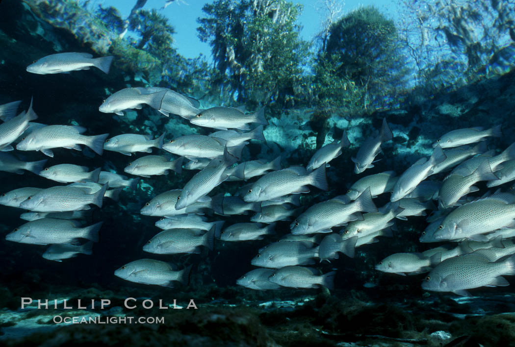 Mangrove snapper schooling in the clear waters of Crystal River, with trees in the background. Three Sisters Springs, Crystal River, Florida, USA, Lutjanus griseus, natural history stock photograph, photo id 02688