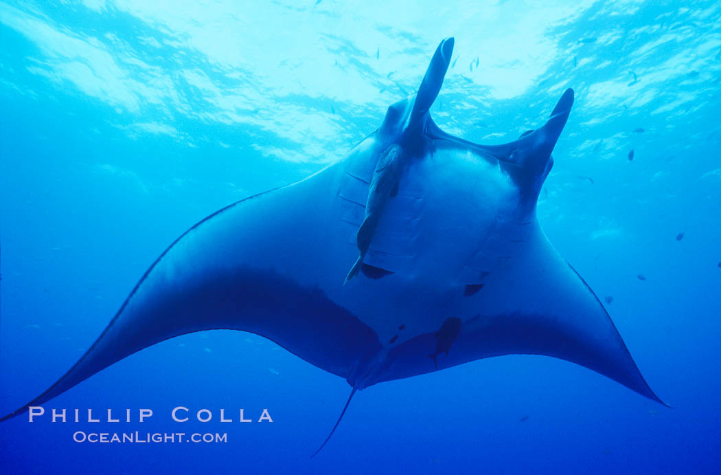 Manta ray, Isla San Benedicto. San Benedicto Island, Baja California, Mexico, Manta birostris, natural history stock photograph, photo id 04830