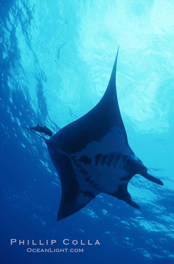 Manta ray, Isla San Benedicto., Manta birostris, natural history stock photograph, photo id 05758