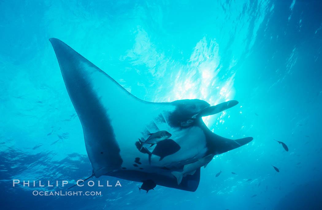 Pacific manta ray with remora. San Benedicto Island (Islas Revillagigedos), Baja California, Mexico, Manta birostris, Remora, natural history stock photograph, photo id 06234