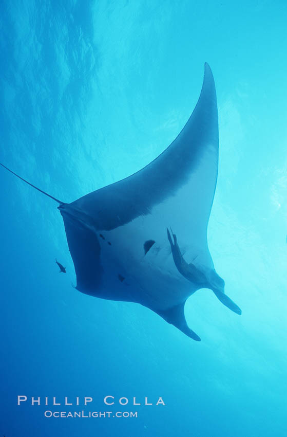 Manta ray, Isla San Benedicto., Manta birostris, natural history stock photograph, photo id 05756