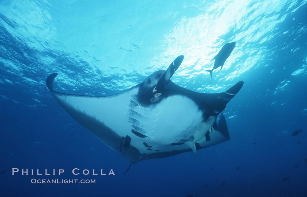 Pacific manta ray with remora, San Benedicto Island, Revilligigedos., Manta birostris, Remora, natural history stock photograph, photo id 06236
