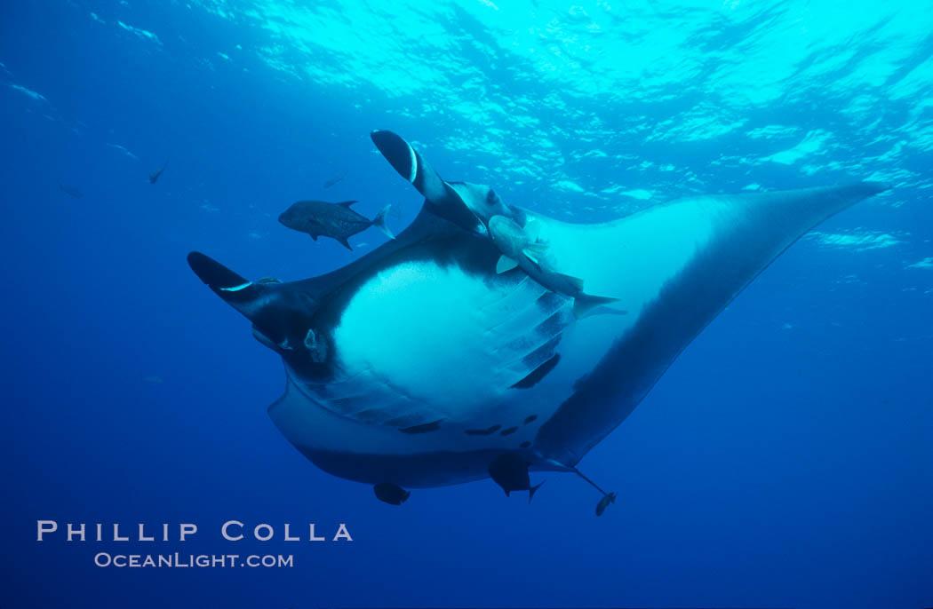 Pacific manta ray with remora. San Benedicto Island (Islas Revillagigedos), Baja California, Mexico, Manta birostris, Remora, natural history stock photograph, photo id 06235