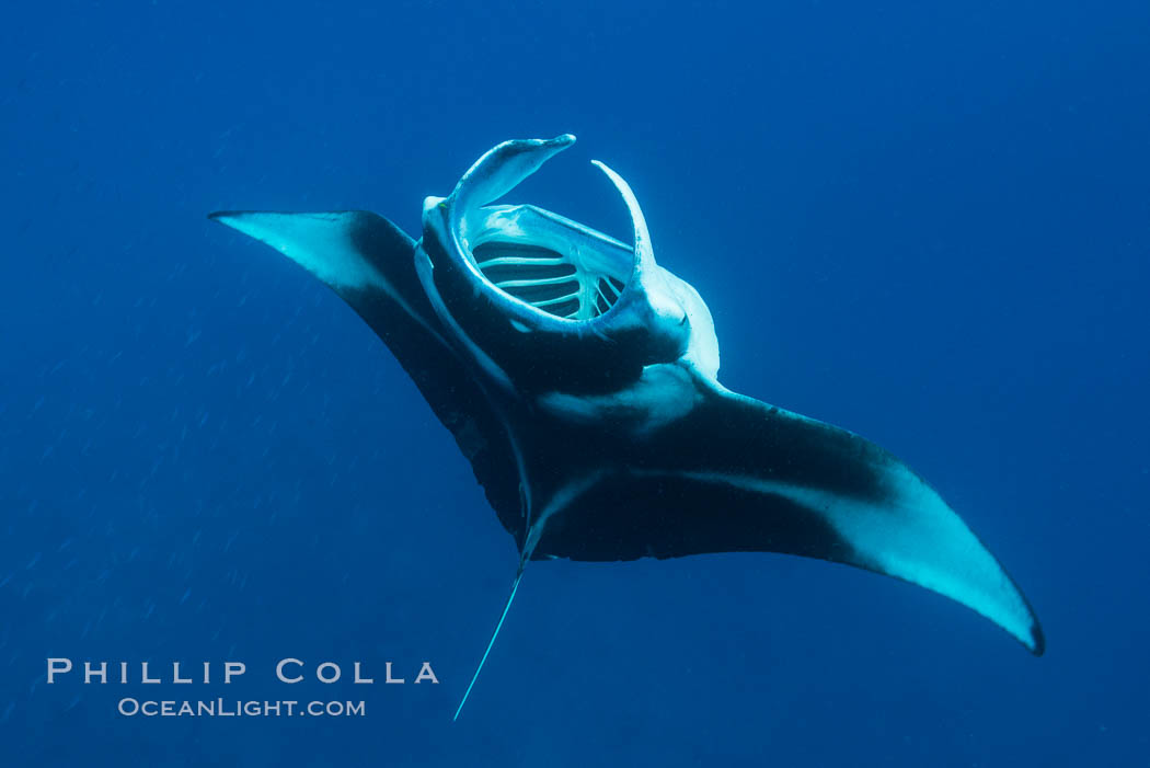 Manta Ray Feeding on Plankton, Fiji. Gau Island, Lomaiviti Archipelago, Fiji, Manta birostris, natural history stock photograph, photo id 31323