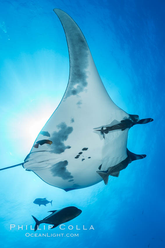 Giant Manta Ray at San Benedicto Island, Revillagigedos, Mexico. San Benedicto Island (Islas Revillagigedos), Baja California, Manta birostris, natural history stock photograph, photo id 33282