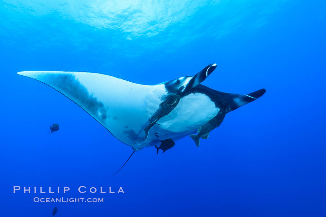 Giant Manta Ray at San Benedicto Island, Revillagigedos, Mexico. San Benedicto Island (Islas Revillagigedos), Baja California, Manta birostris, natural history stock photograph, photo id 33289