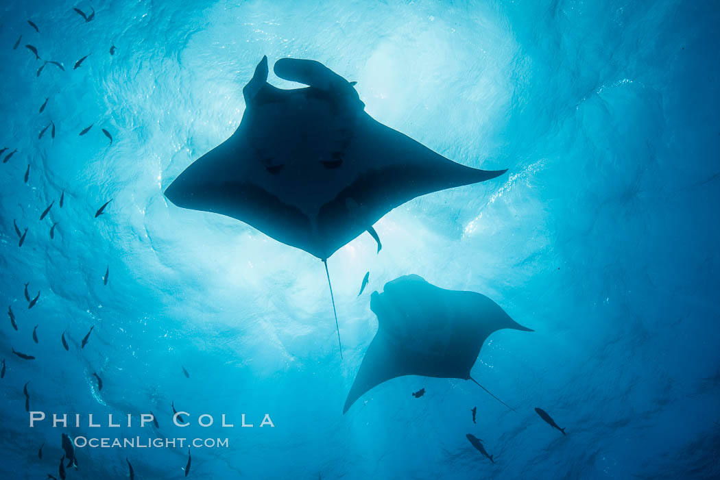 Giant Manta Ray at Socorro Island, Revillagigedos, Mexico. Socorro Island (Islas Revillagigedos), Baja California, Manta birostris, natural history stock photograph, photo id 33298