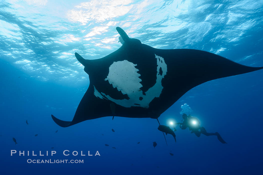 Giant Manta Ray at Socorro Island, Revillagigedos, Mexico. Socorro Island (Islas Revillagigedos), Baja California, Manta birostris, natural history stock photograph, photo id 33291