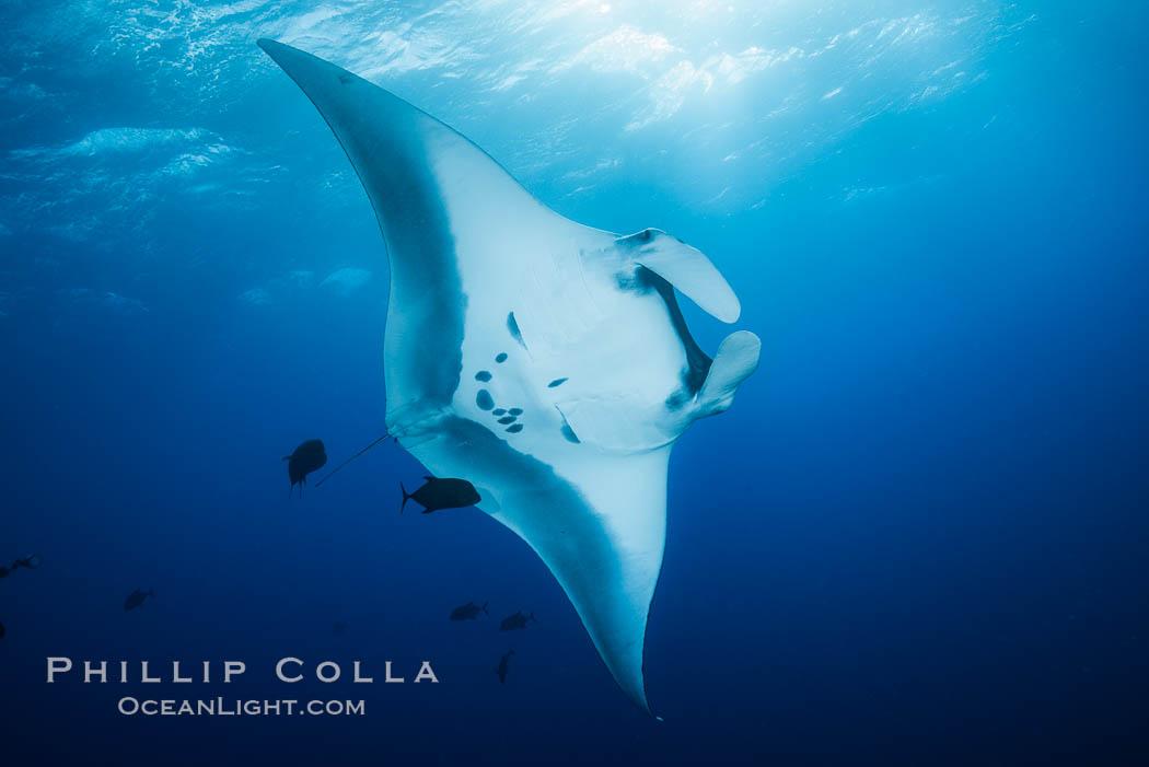 Giant Manta Ray at Socorro Island, Revillagigedos, Mexico. Socorro Island (Islas Revillagigedos), Baja California, Mexico, Manta birostris, natural history stock photograph, photo id 33285