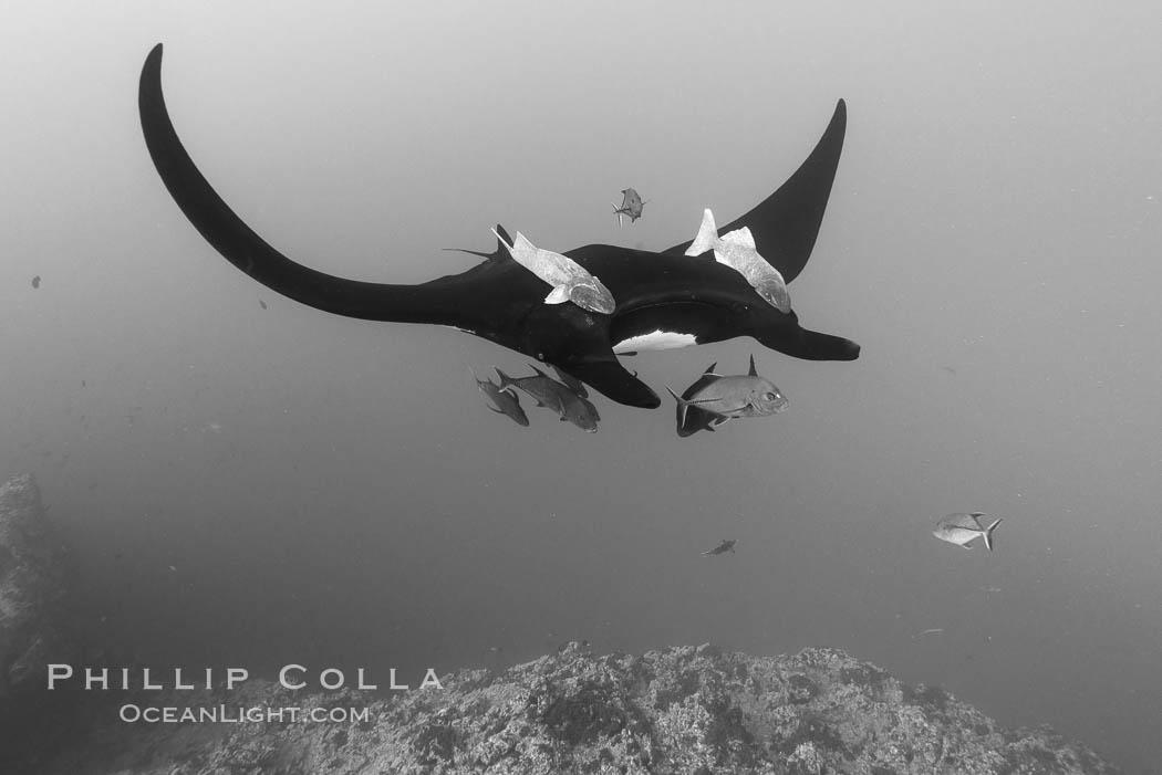 Giant Manta Ray at Socorro Island, Revillagigedos, Mexico. Socorro Island (Islas Revillagigedos), Baja California, Mexico, Manta birostris, natural history stock photograph, photo id 33297