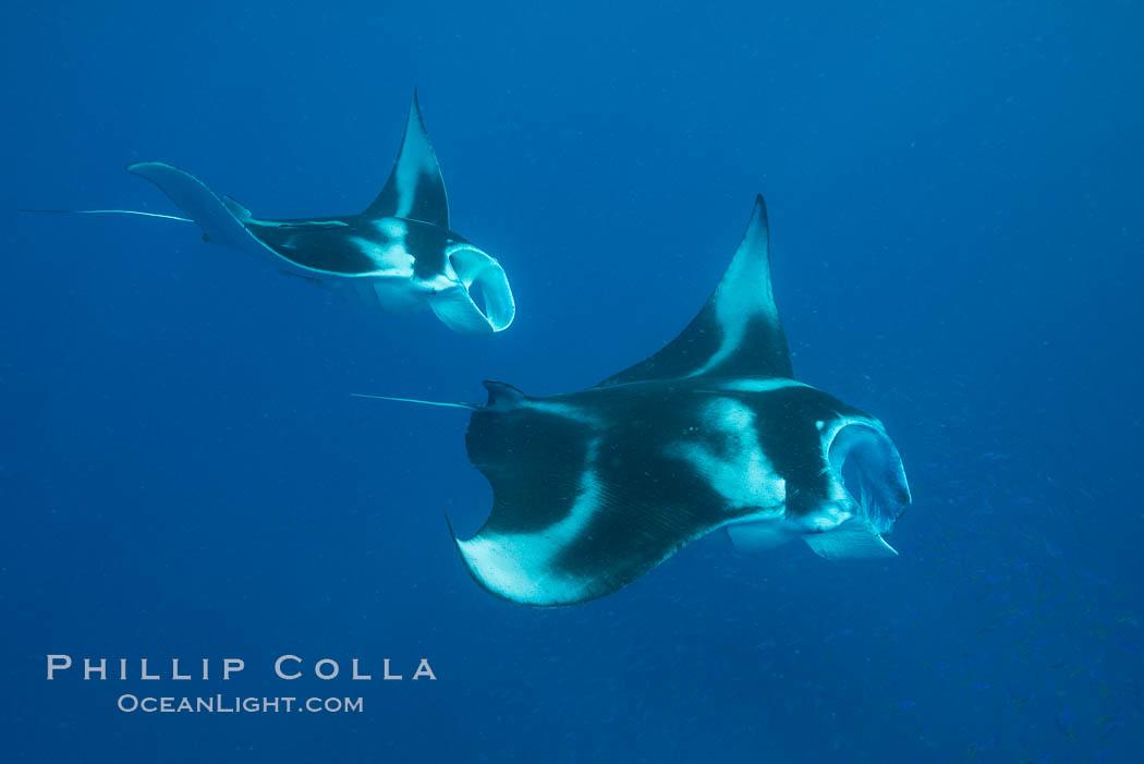 Manta Rays Feeding on Plankton, Fiji. Gau Island, Lomaiviti Archipelago, Fiji, Manta birostris, natural history stock photograph, photo id 31717