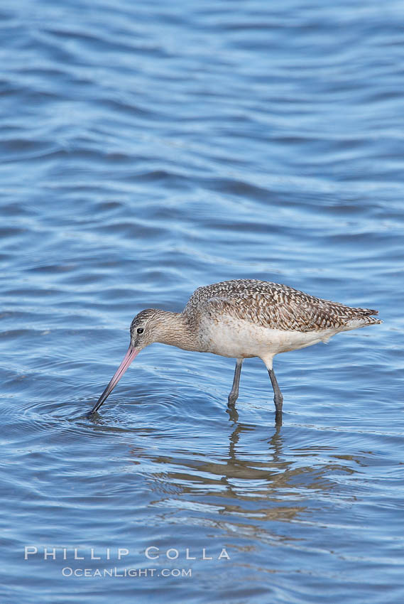 Marbled godwit, foraging on mud flats. Upper Newport Bay Ecological Reserve, Newport Beach, California, USA, Limosa fedoa, natural history stock photograph, photo id 15685