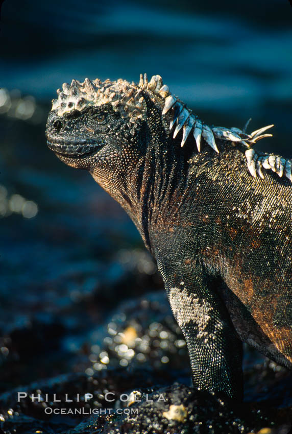 Image 01718, Marine iguana, Punta Espinosa. Fernandina Island, Galapagos Islands, Ecuador, Amblyrhynchus cristatus, Phillip Colla, all rights reserved worldwide. Keywords: above water, amblyrhynchus cristatus, animal, creature, ecuador, endemic species, fernandina island, galapagos, galapagos iguana, galapagos islands, iguana, marine iguana, nature, oceans, pacific, punta espinosa, reptile, sea iguana, wildlife, world heritage sites.