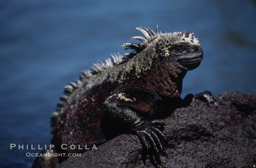 Image 01727, Marine iguana, Punta Espinosa. Fernandina Island, Galapagos Islands, Ecuador, Amblyrhynchus cristatus, Phillip Colla, all rights reserved worldwide. Keywords: above water, amblyrhynchus cristatus, animal, creature, ecuador, endemic species, fernandina island, galapagos, galapagos iguana, galapagos islands, iguana, marine iguana, nature, oceans, pacific, punta espinosa, reptile, sea iguana, wildlife, world heritage sites.