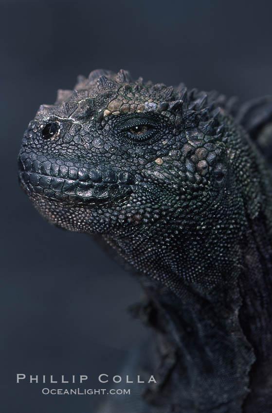 Marine iguana. James Island, Galapagos Islands, Ecuador, Amblyrhynchus cristatus, natural history stock photograph, photo id 05693