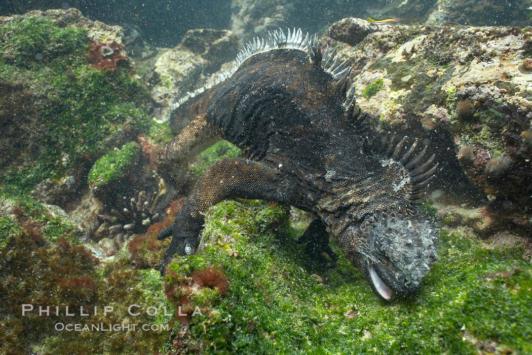 Marine iguana, underwater, forages for green algae that grows on the lava reef. Bartolome Island, Galapagos Islands, Ecuador, Amblyrhynchus cristatus, natural history stock photograph, photo id 16231