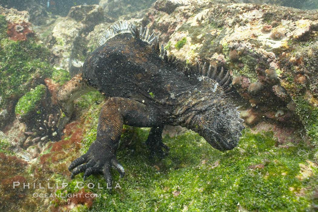 Marine iguana, underwater, forages for green algae that grows on the lava reef. Bartolome Island, Galapagos Islands, Ecuador, Amblyrhynchus cristatus, natural history stock photograph, photo id 16233