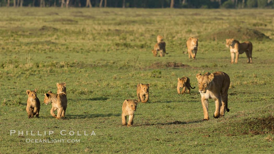 Marsh pride of lions, Maasai Mara National Reserve, Kenya. Maasai Mara National Reserve, Kenya, Panthera leo, natural history stock photograph, photo id 29942