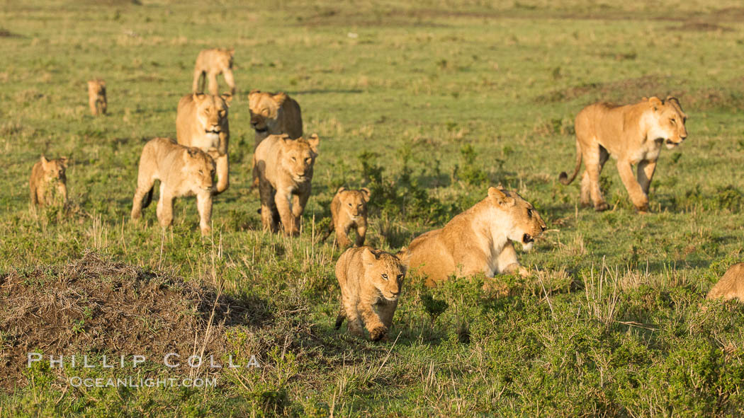Marsh pride of lions, Maasai Mara National Reserve, Kenya. Maasai Mara National Reserve, Kenya, Panthera leo, natural history stock photograph, photo id 29932