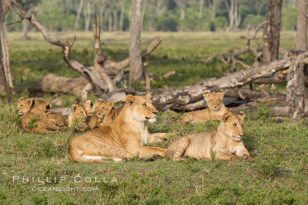 Marsh pride of lions, Maasai Mara National Reserve, Kenya. Maasai Mara National Reserve, Kenya, Panthera leo, natural history stock photograph, photo id 29952