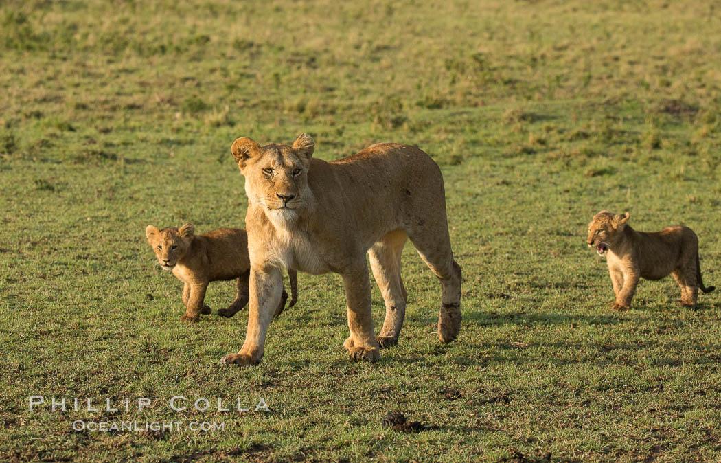 Marsh pride of lions, Maasai Mara National Reserve, Kenya. Maasai Mara National Reserve, Kenya, Panthera leo, natural history stock photograph, photo id 29939