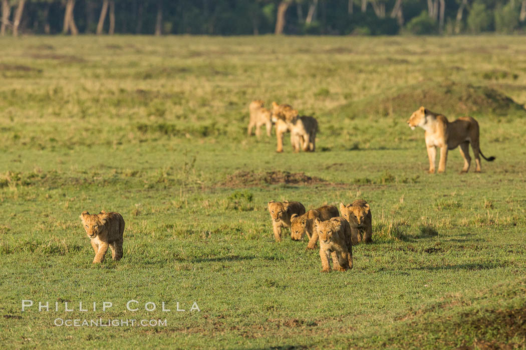 Marsh pride of lions, Maasai Mara National Reserve, Kenya. Maasai Mara National Reserve, Kenya, Panthera leo, natural history stock photograph, photo id 29941