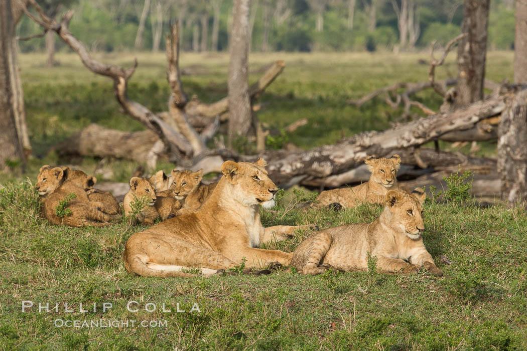 Image 29953, Marsh pride of lions, Maasai Mara National Reserve, Kenya. Maasai Mara National Reserve, Kenya, Panthera leo, Phillip Colla, all rights reserved worldwide. Keywords: africa, animalia, carnivora, cat, chordata, east african lion, family, felidae, group, kenya, lion, lions, maasai lion, maasai mara, maasai mara national reserve, mammal, mammalia, marsh pride, masai mara game reserve, natural, nature, outdoors, outside, panthera, panthera leo, panthera leo nubica, pantherinae, predator, pride, safari, vertebrata, wild, wildlife.
