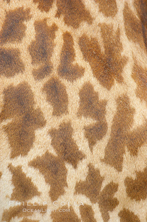 Masai giraffe, coloration patterns., Giraffa camelopardalis tippelskirchi, natural history stock photograph, photo id 12537